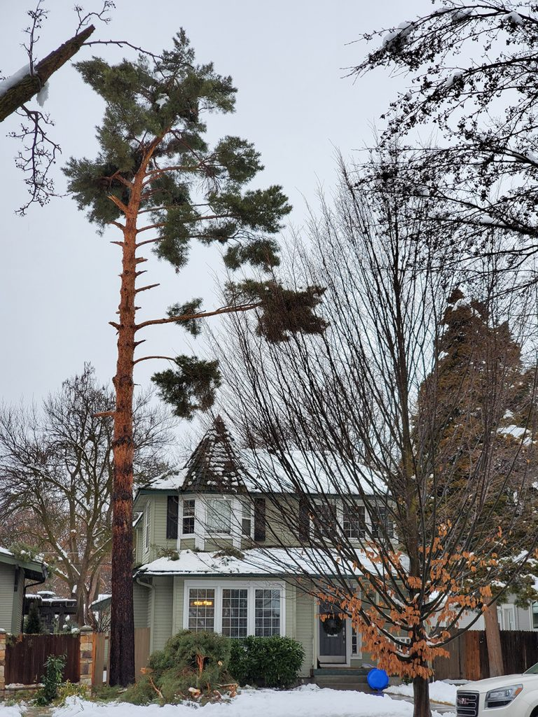 tree damaged by pruning